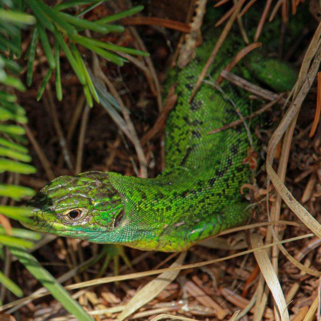 Lezard vert – Lac de Trémelin