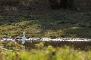 Réserve ornithologique - Aigrette garzette